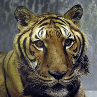 最高齢のトラ - 動物園放浪記
