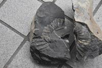 化石いぢり(13) - ふぉっしるもしてみむとてするなり