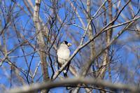 イカル12月20日 - 旧サンヨン野鳥撮影放浪記