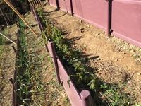 ジャガイモ収穫 - 高麗べぇコロコロ
