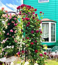 つるバラの誘引♡ロサオリ・オデッセイア♫とエントランスの元気なお花達♡ - 薪割りマコのバラの庭