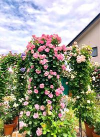 つるバラの誘引♡ストロベリーアイス♫と、お花好き同士って♡ - 薪割りマコのバラの庭