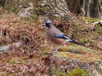 初冬の別荘地にいたカケス - コーヒー党の野鳥と自然パート3