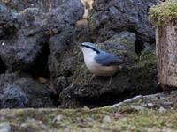 冬を迎えたゴジュウカラ - コーヒー党の野鳥と自然パート3