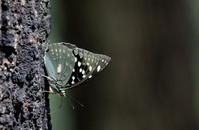 大雪鱖魚群(さけのうおむらがる) - 紀州里山の蝶たち