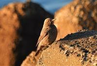 イソヒヨドリ - そらと林と鳥