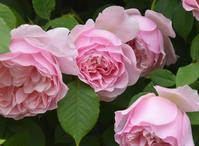 華麗に咲く - カヲリノニワ