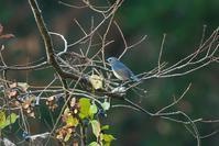 2020-205 手強いルリビタキ - 近隣の野鳥を探して2