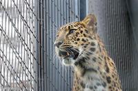 旭山動物園にて「アムールヒョウ」~10月の旭山動物園 - My favorite ~Diary 3~