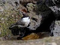 水場にコガラの群れが - コーヒー党の野鳥と自然パート3