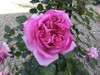花もち良く年中咲き良い香りのバラ - バラやらナンやら