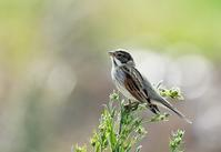 Common Reed Bunting - AVES
