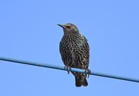 Common Starling - AVES