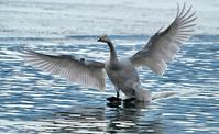 みちのく髙松白鳥たち11 - みちのくの大自然