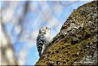 野幌森林公園のコゲラ - 北海道photo一撮り旅