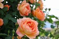 レディオブシャーロットの誘引 - my small garden~sugar plum~