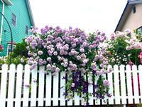 つるバラの誘引剪定♡レイニーブルー♫ - 薪割りマコのバラの庭