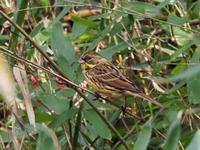 ササ藪にアオジがいました - コーヒー党の野鳥と自然パート3