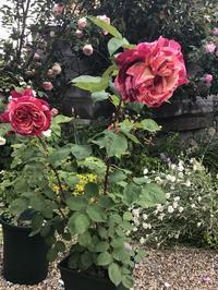 初めて育てたナーセリーのバラと無意識に出てくるもの - バラやらナンやら