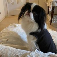 犬服☆発熱シャツを買ってみた - 狆の茶々丸