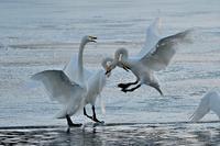 みちのく髙松白鳥たち12 - みちのくの大自然