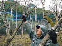 太秋柿令和3年度の収穫へ向け匠の剪定作業 - FLCパートナーズストア
