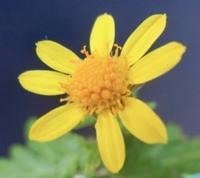 #キク科『島寒菊』Chrysanthemum indicum - 自然感察 *nature feeling*