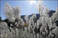 高原のススキ - 薫の時の記憶