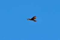 青空に飛翔するノスリ - 四季の予感