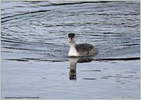 遊水池のカンムリカイツブリ - 野鳥の素顔 <野鳥と日々の出来事>