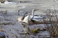 ダイサギほか寒さが緩んだ沼で - 今日の鳥さんⅡ