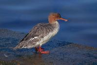 陸に上がったウミアイサ(海秋沙)♀ - 野鳥などの撮影記録