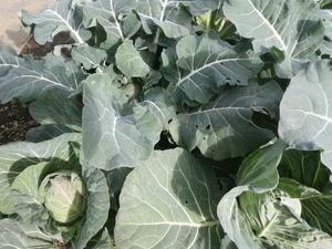 野菜作り -
