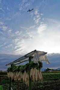 阿蘇くまもと空港外周道路の大根畑 - Mark.M.Watanabeの熊本撮影紀行