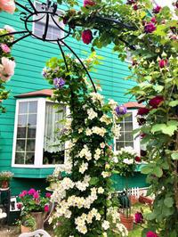 つるバラの誘引剪定♫ERキューガーデン♡ - 薪割りマコのバラの庭