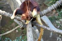 セスジキノボリカンガルー - 動物園へ行こう