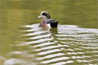 公園池のアメリカヒドリ - とことんデジカメ