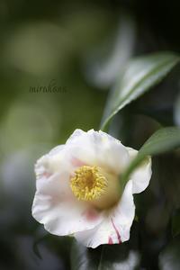 椿姫たち。 - MIRU'S PHOTO