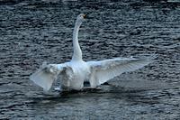 みちのく髙松白鳥たち14 - みちのくの大自然