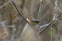 2020-207 瑠璃待ちのモズ - 近隣の野鳥を探して2