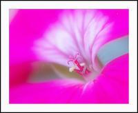 ゼラニュウム - 光 塗人 の デジタル フォト グラフィック アート (DIGITAL PHOTOGRAPHIC ARTWORKS)