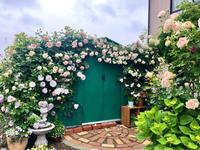 つるバラの誘引剪定♫グリーンの倉庫『玉鬘・たまかずら』 - 薪割りマコのバラの庭