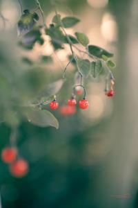 小さな赤い実 - purebliss