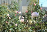 Garden Storyさんにて連載記事「実録!バラがメインの庭づくり第12話~」がアップ頂きました。 - バラとハーブのある暮らし Salon de Roses