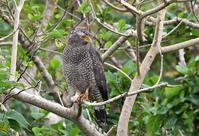 Crested Serpent Eagle - AVES