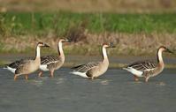 Swan Goose - AVES