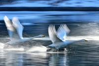 みちのく御所湖白鳥たち15 - みちのくの大自然