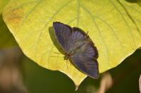 ムラサキツバメシジミ12月27日 - 超蝶