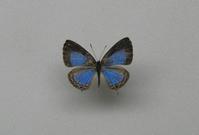 初めてのルリウラナミシジミ - 呑むさん蝶日記