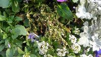 枯れたリンデルニア、生えてきた雑草 - ウィズコロナのうちの庭の備忘録~Green's Garden~